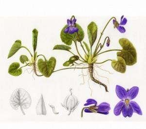 La violette Pour soigner la toux et la bronchite